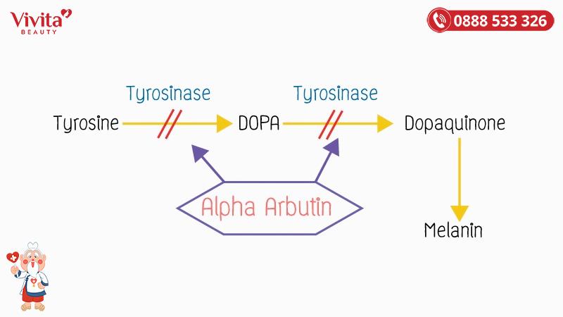 Cơ chế hoạt động của Arbutin